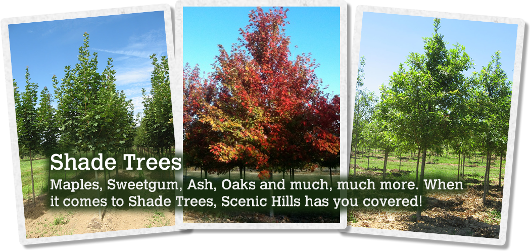 Scenic Hills Nursery Whole Specializing In Shade Ornamental Evergreen Trees