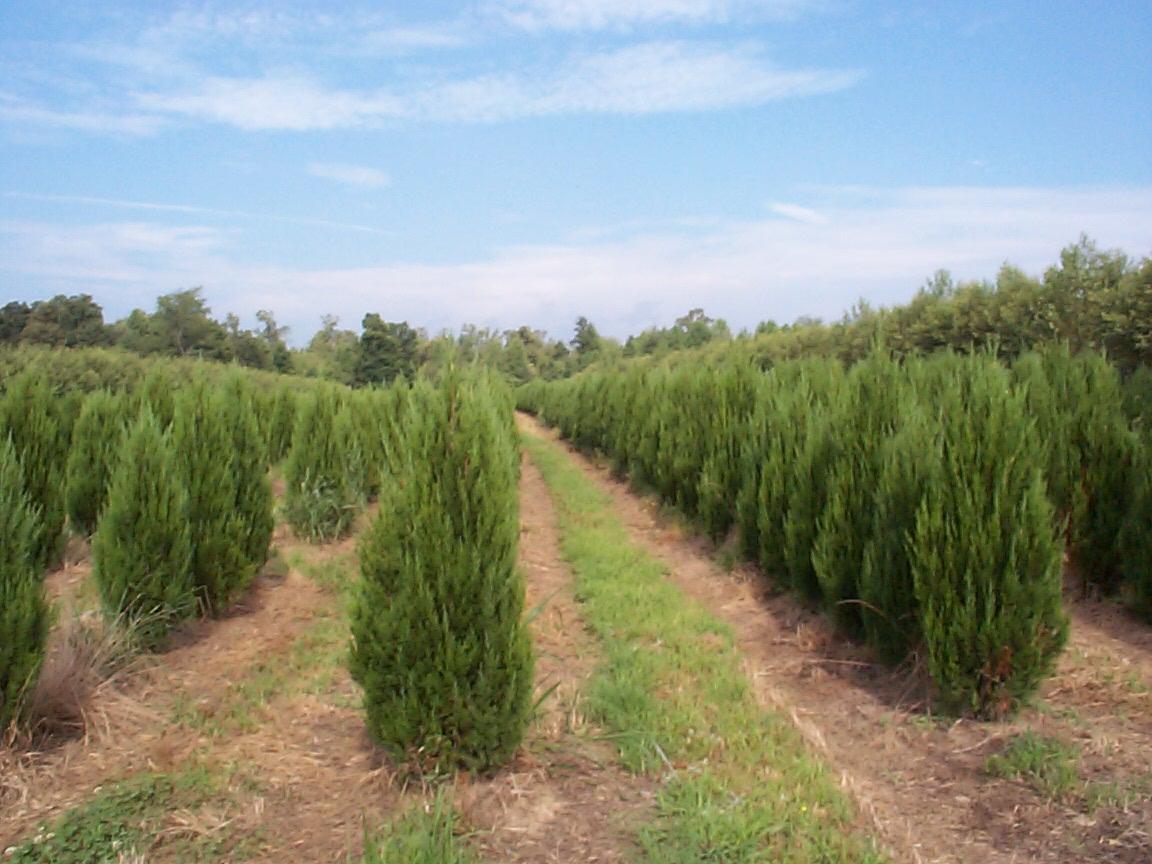 Thuja occidentalis smaragd emerald arborvitae scenic hills nursery - Thuja smaragd growth rate ...