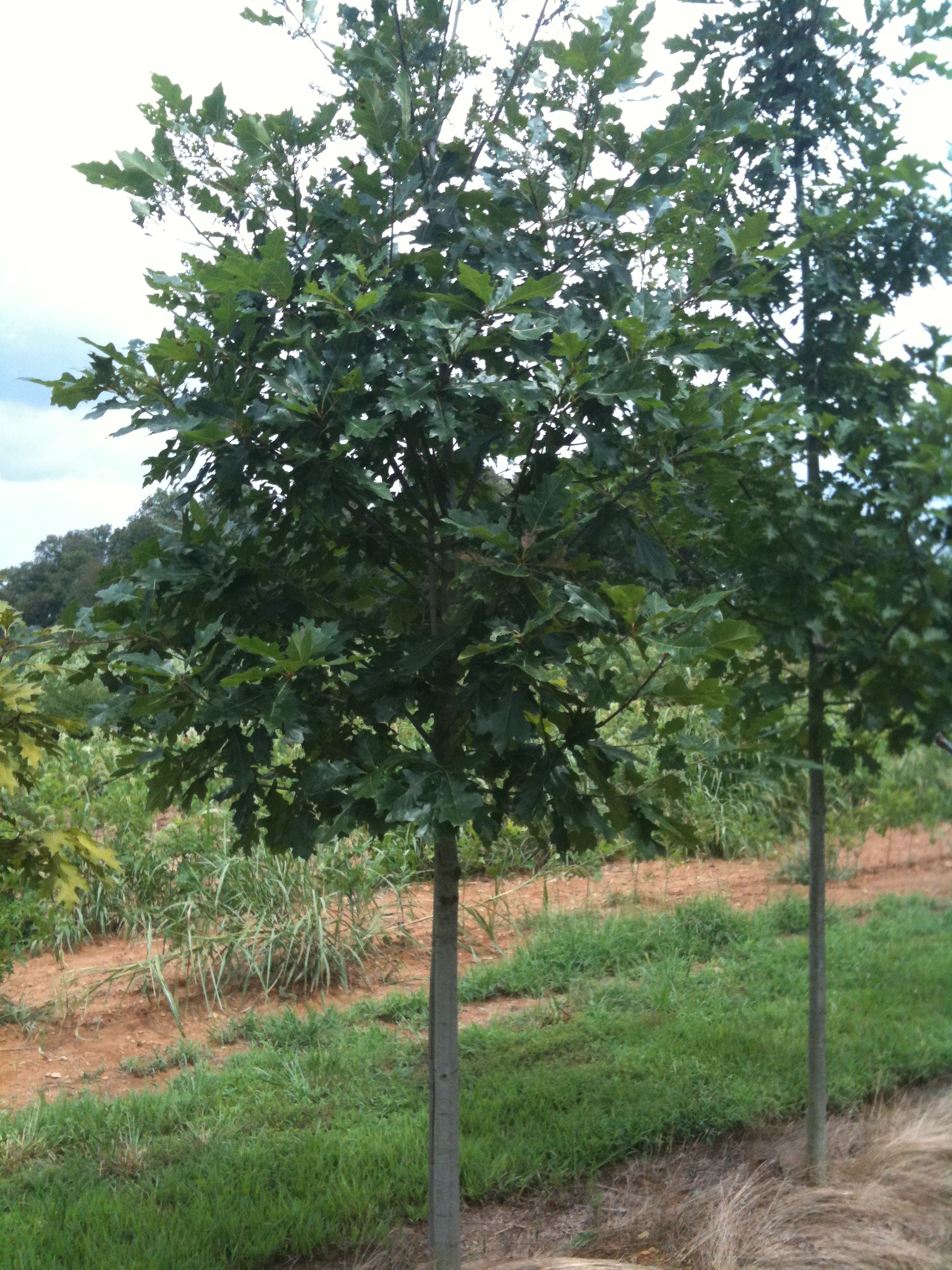 Northern Red Oak ~ Quercus rubra northern red oak scenic hills nursery