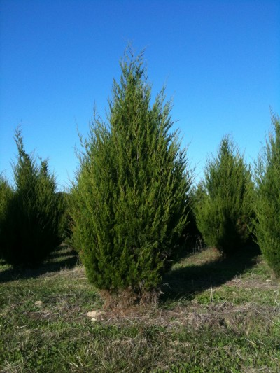 Juniperus virginiana eastern red cedar scenic hills nursery