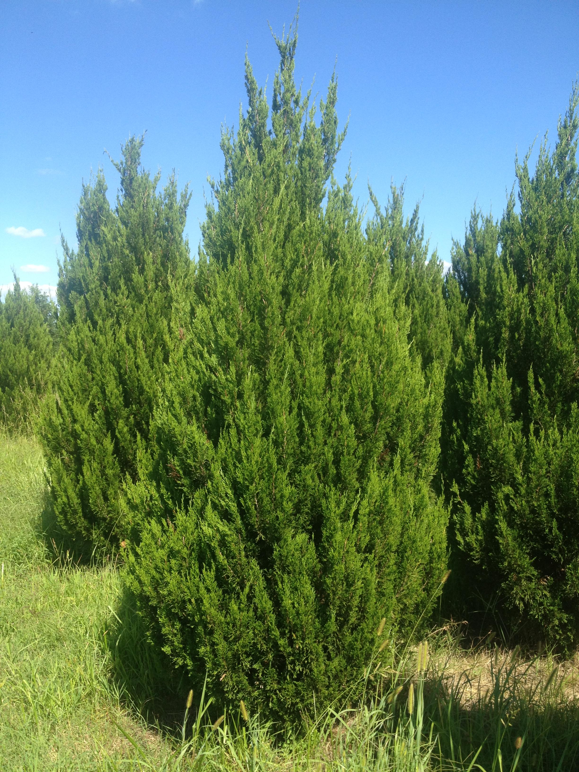 Juniperus virginiana idllywild idllywild juniper for The juniper