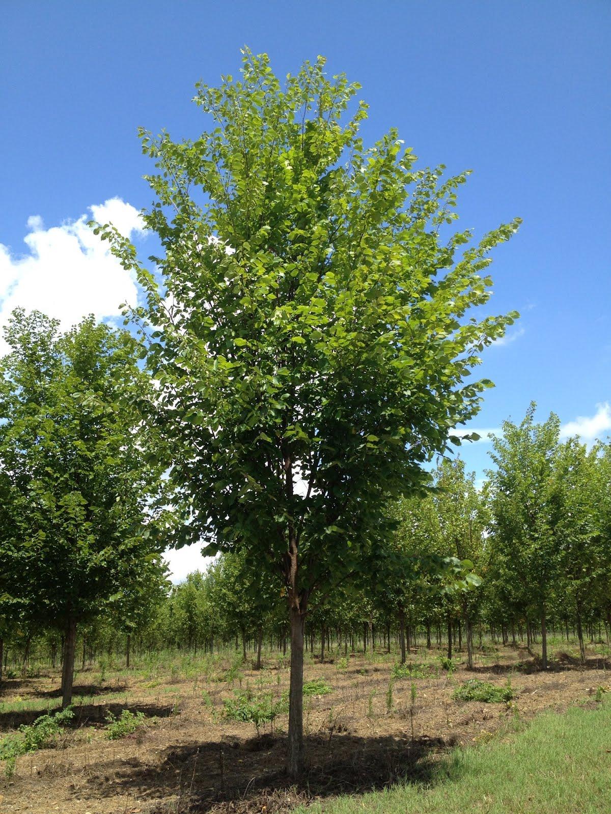 Ulmus americana princeton princeton elm scenic hills for American elm