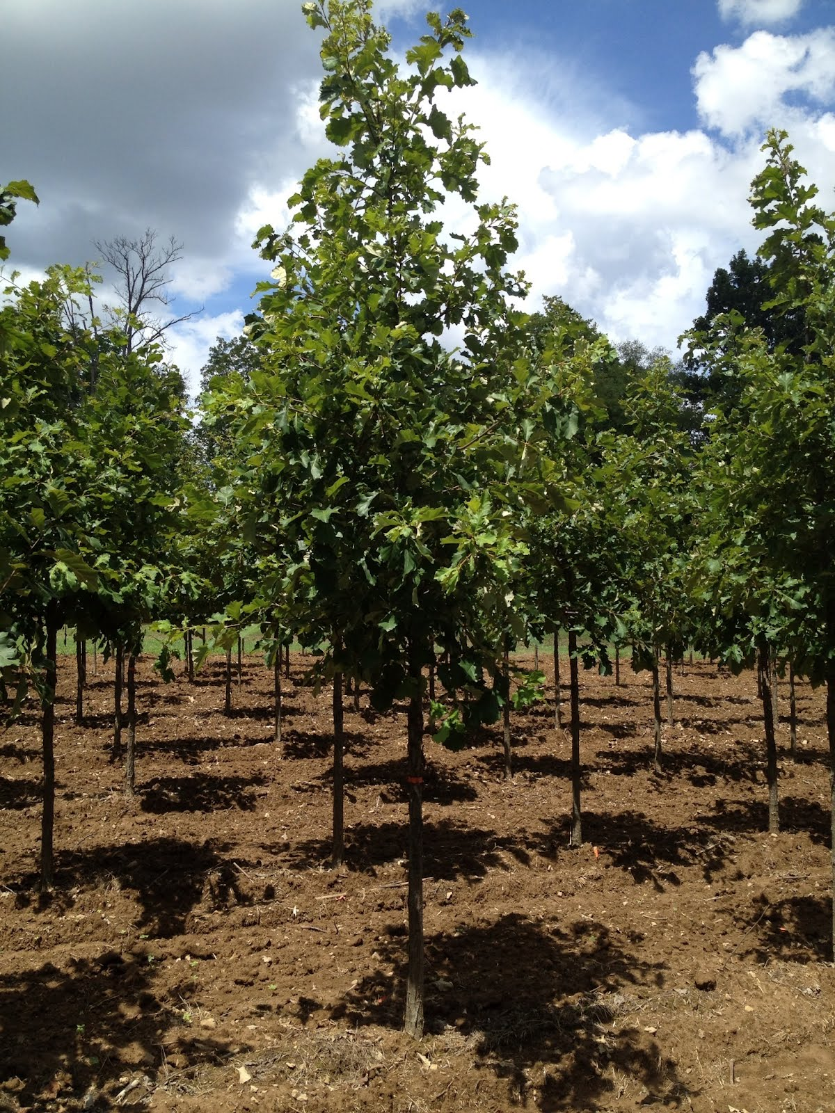 Quercus bicolor swamp white oak scenic hills nursery