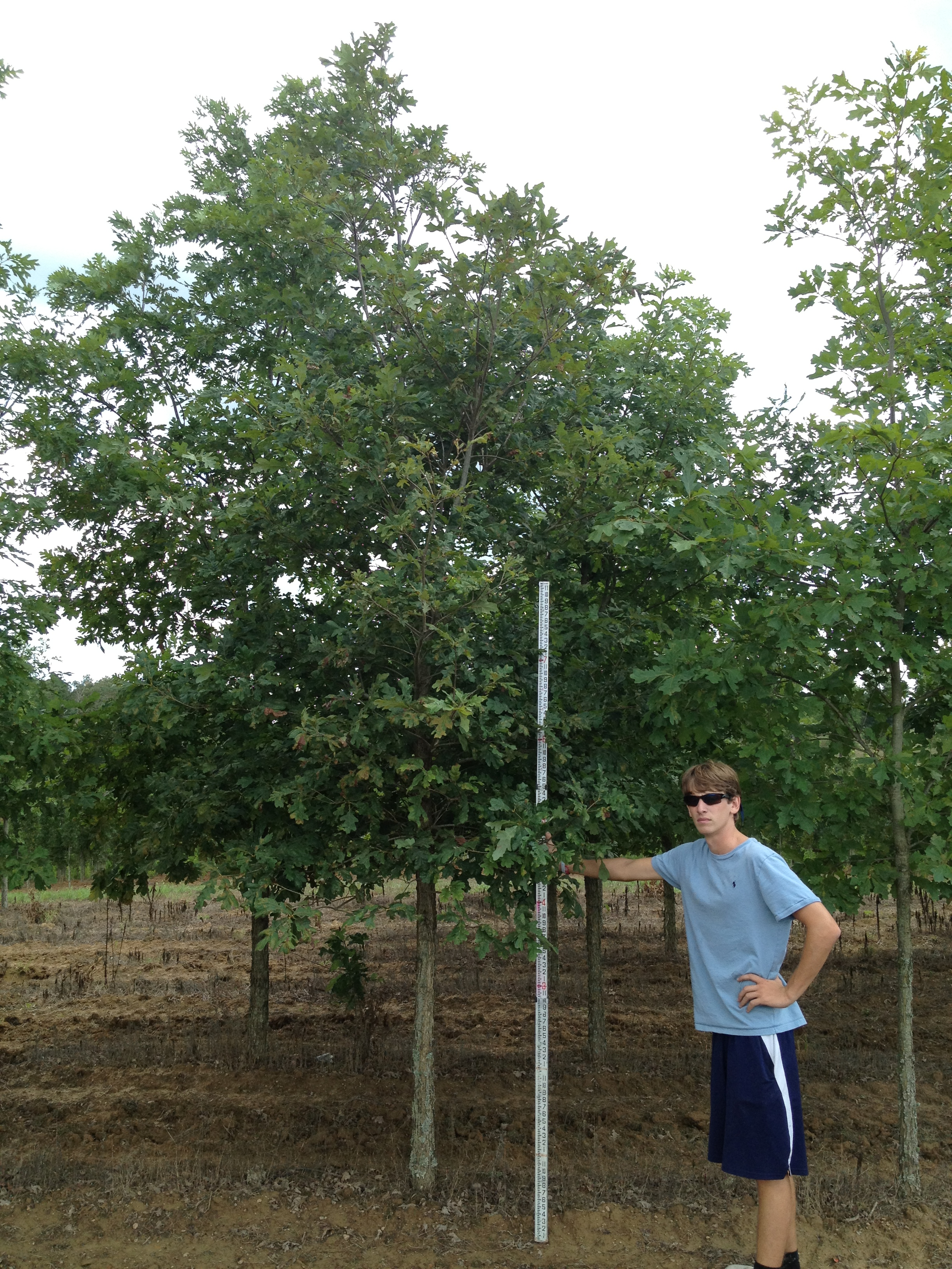 Quercus Alba White Oak Scenic Hills Nursery