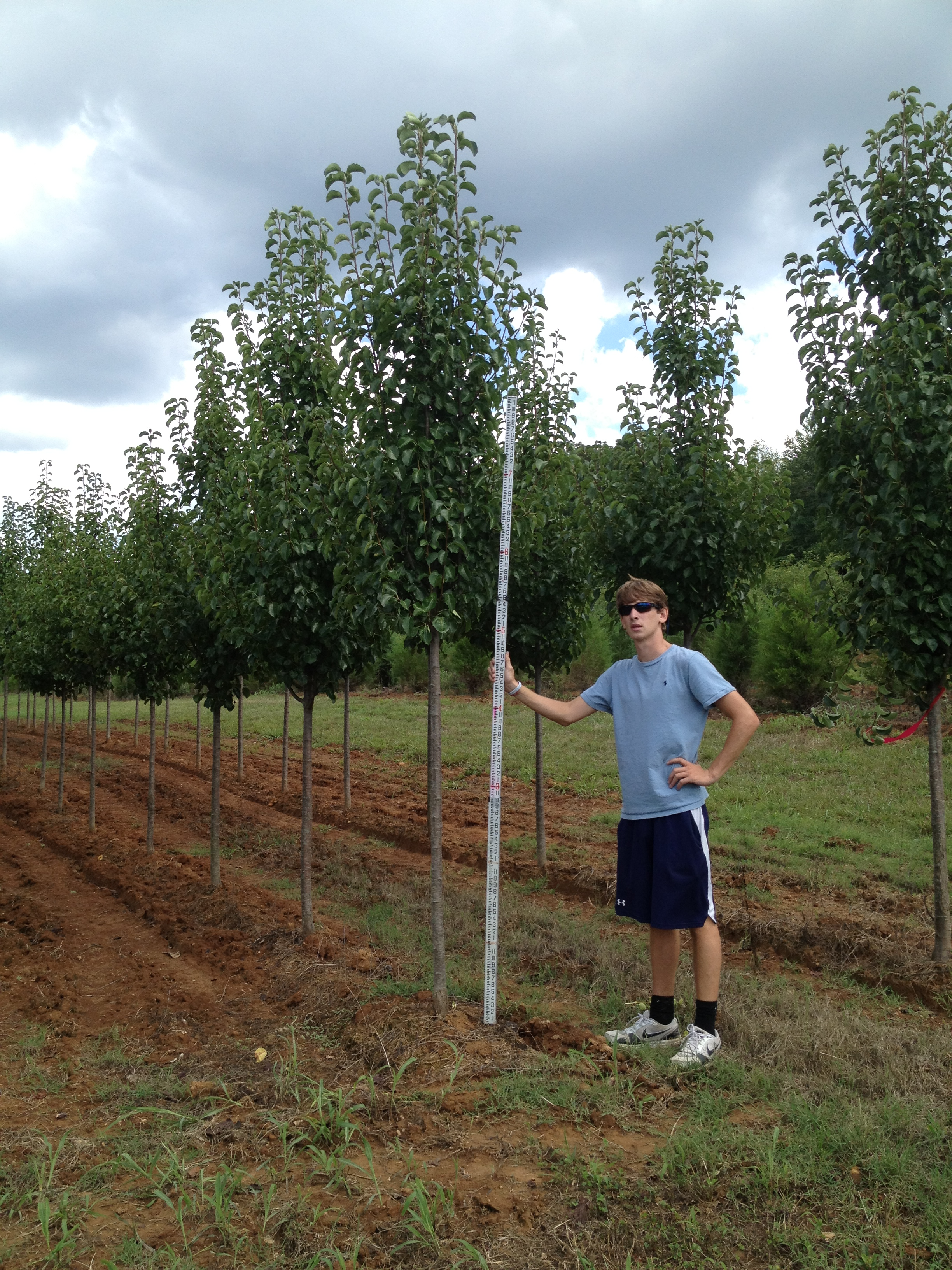 Cleveland Pear Tree Pictures